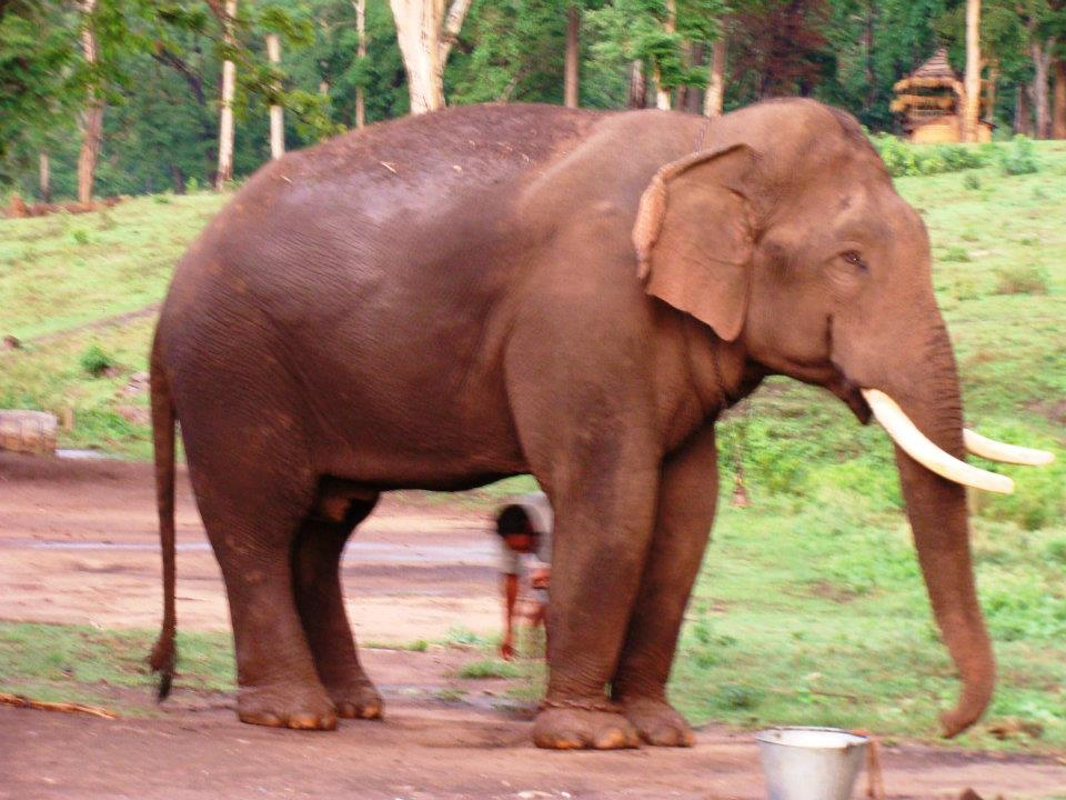 Wildlife Elephant