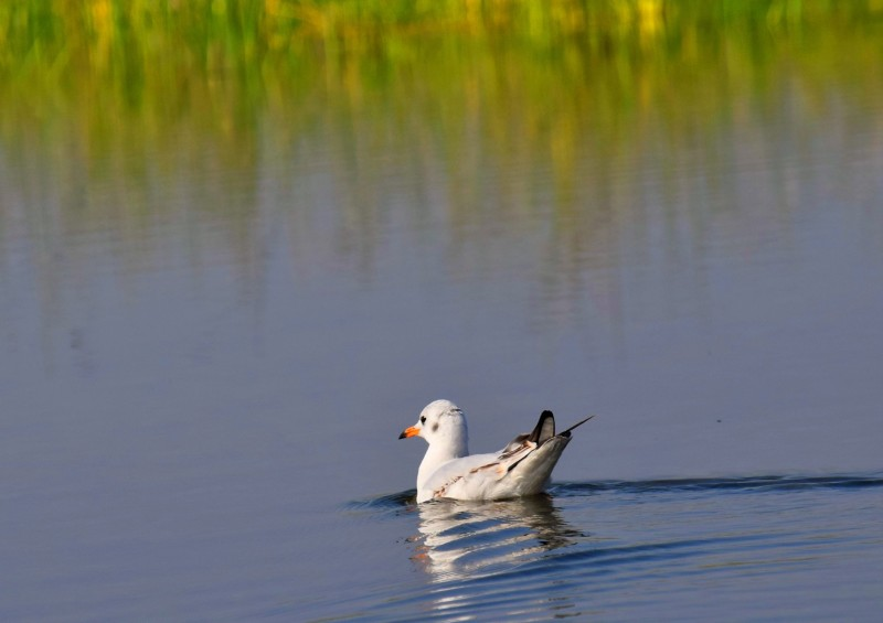 Nalsarovar Duck